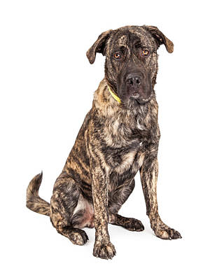 Giant Dogs Photograph - Beautiful Giant Breed Dog Sitting by Susan Schmitz