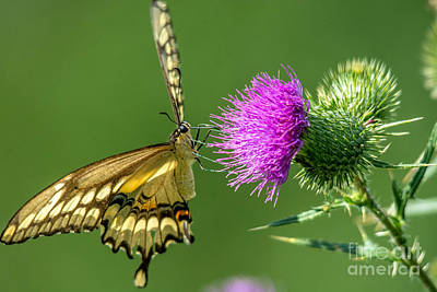 Photograph - Beautiful Giant Butterfly by Cheryl Baxter