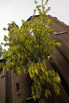 Photograph - Beautiful Golden Chain Tree In Full Bloom by Georgia Mizuleva