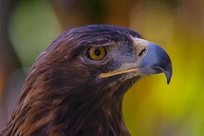 Seeing Photograph - Beautiful Golden Eagle by Garry Gay