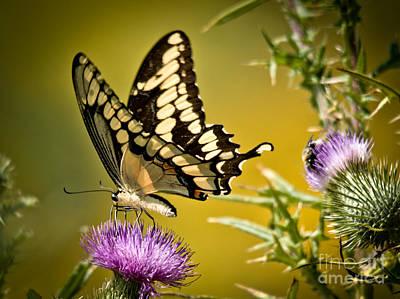 Thorn Tail Photograph - Beautiful Golden Swallowtail by Cheryl Baxter