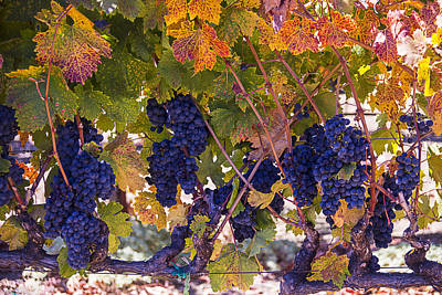 Grapevine Photograph - Beautiful Grape Harvest by Garry Gay