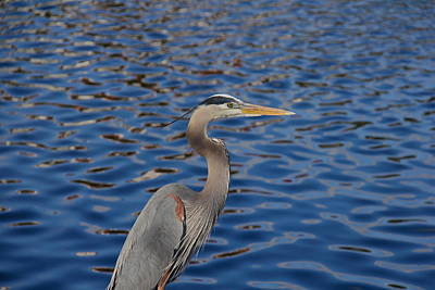 Photograph - Beautiful Great Blue Heron by Denise Mazzocco