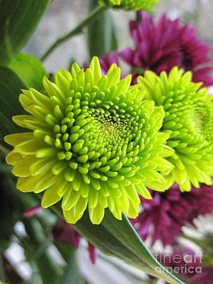 Photograph - Beautiful Green And Purple Chrysanthemums by Tara  Shalton
