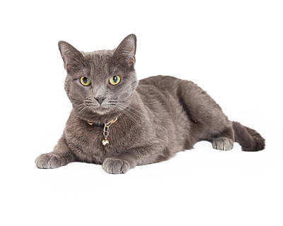 Beautiful Grey Domestic Shorthair Cat Laying Art Print
