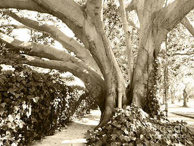Photograph - Beautiful Griffith Park Huge Trunk Tree Sepia Black White Vintage Earthy Fine Art Decorative Print by Marie Christine Belkadi