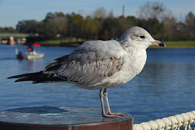 Photograph - Beautiful Gull by Denise Mazzocco