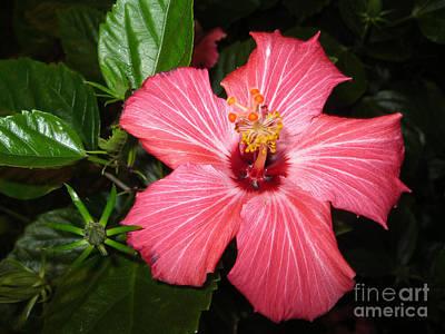 Digital Art - Beautiful Hibiscus by Oksana Semenchenko