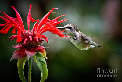 Photograph - Beautiful Hummer by Cheryl Baxter