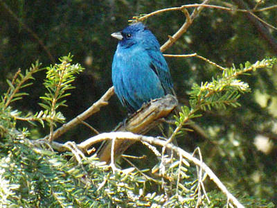 Photograph - Beautiful Indigo Bunting by Brenda Brown