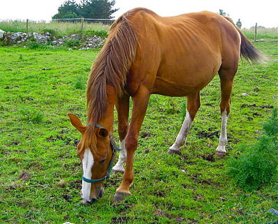 Photograph - Beautiful Irish Horse by Denise Mazzocco