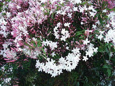 Photograph - Beautiful Jasmine Flowers In Full Bloom by Tracey Harrington-Simpson