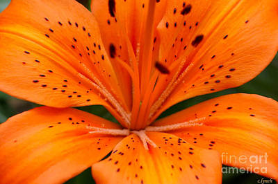Beautiful Lily Art Print by Carol Lynch