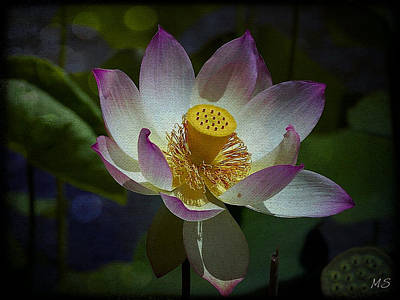 Photograph - Beautiful Lotus Lily  by Absinthe Art By Michelle LeAnn Scott