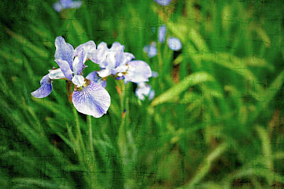 Beautiful Louisiana Hybrid Iris Art Print by Marianne Campolongo