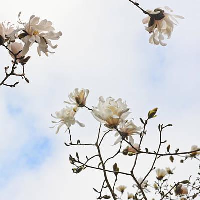 Photograph - Beautiful Magnolia Stellata Star Magnolia Tree  by Marianne Campolongo