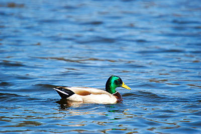Crystal Wightman Rights Managed Images - Beautiful Male Mallard Royalty-Free Image by Crystal Wightman
