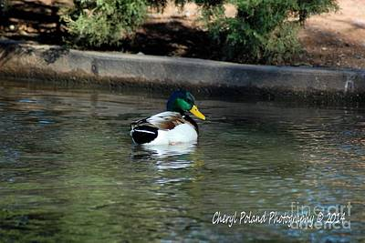 Photograph - Beautiful Male Mallard On Lucy Park Pond by Cheryl Poland