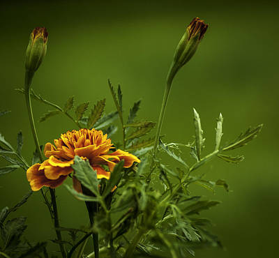 Beautiful Marigold Art Print by Jean-Jacques Thebault
