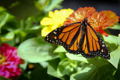 Photograph - Beautiful Monarch Butterfly by Patrice Zinck