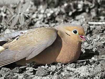 Photograph - Beautiful Mourning Dove by Ella Kaye Dickey