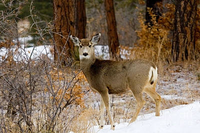 Steven Krull Royalty-Free and Rights-Managed Images - Beautiful Mule Deer by Steven Krull
