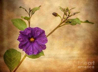 Photograph - Beautiful Nightshade by Peggy Hughes