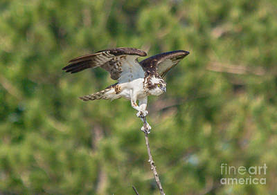 Photograph - Beautiful Osprey by Cheryl Baxter