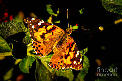 Vanessa Photograph - Beautiful Painted Lady  by Robert Bales