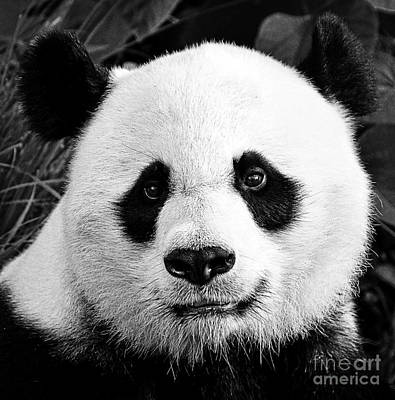 Photograph - Beautiful Panda Black And White 1 by Boon Mee