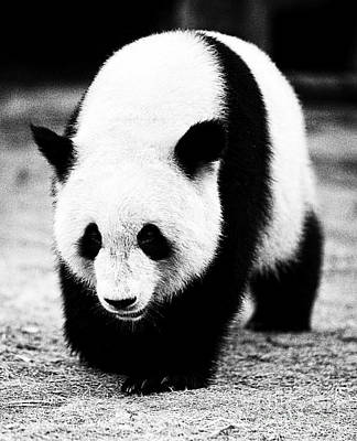 Photograph - Beautiful Panda Black And White 10 by Boon Mee