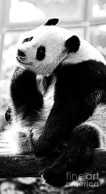 Photograph - Beautiful Panda Black And White 2 by Boon Mee