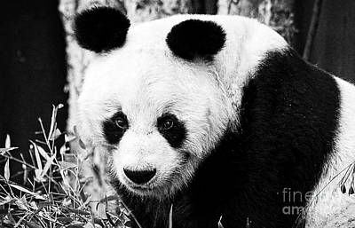Photograph - Beautiful Panda Black And White 4 by Boon Mee