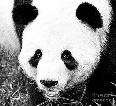 Photograph - Beautiful Panda Black And White 5 by Boon Mee