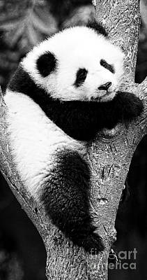 Photograph - Beautiful Panda Black And White 7 by Boon Mee