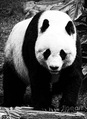 Photograph - Beautiful Panda Black And White 8 by Boon Mee