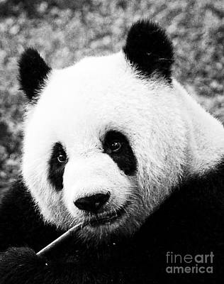Photograph - Beautiful Panda Black And White 9 by Boon Mee