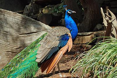 Digital Art - Beautiful Peacock by Eva Kaufman