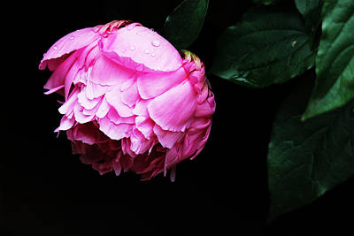 Beautiful Peony Art Print by Trina  Ansel