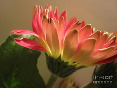 Photograph - Beautiful Pink Gerbera Daisy 2 by Tara  Shalton