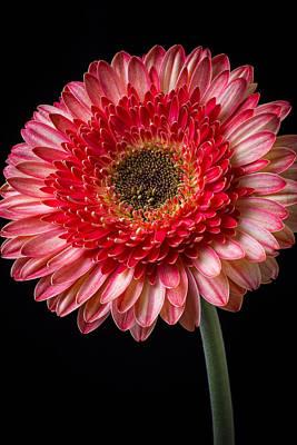 Pink Chrysanthemums Photograph - Beautiful  Pink Gerbera by Garry Gay