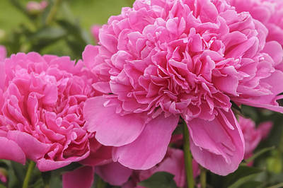 Photograph - Beautiful Pink Peony Albert Crousse Paeonia Lactifora Albert Cro by Marianne Campolongo