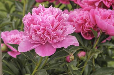 Photograph - Beautiful Pink Peony Albert Crousse Paeonia Lactifora by Marianne Campolongo