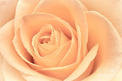 Roses Royalty-Free and Rights-Managed Images - Beautiful Pink Rose by Edward Fielding