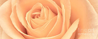 Photograph - Beautiful Pink Rose Panoramic by Edward Fielding