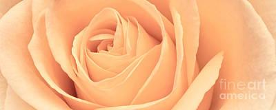 Photograph - Beautiful Pink Rose Panoramic by Edward Fielding