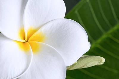 Photograph - Beautiful Plumeria Flower by Pierre Leclerc Photography