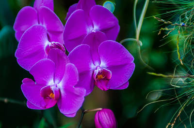 Olants Photograph - Beautiful Purple Orchid - Phalaenopsis by Alex Grichenko