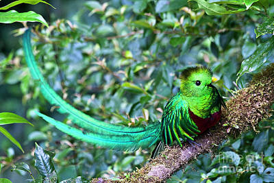 Birds Rights Managed Images - Beautiful Quetzal 3 Royalty-Free Image by Heiko Koehrer-Wagner