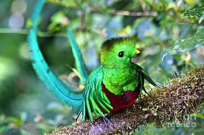 Beautiful Quetzal 5 Print by Heiko Koehrer-Wagner
